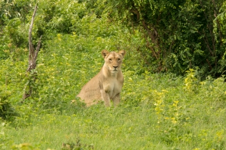 lioness in Chobe