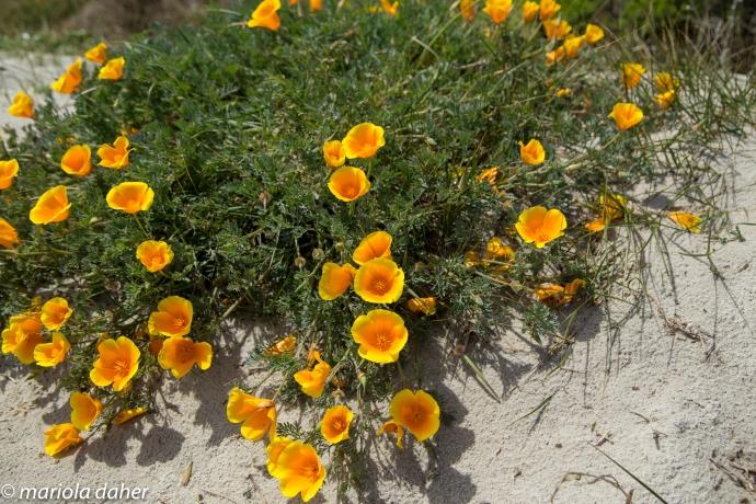 poppy flower of California (if I'm not mistaken)