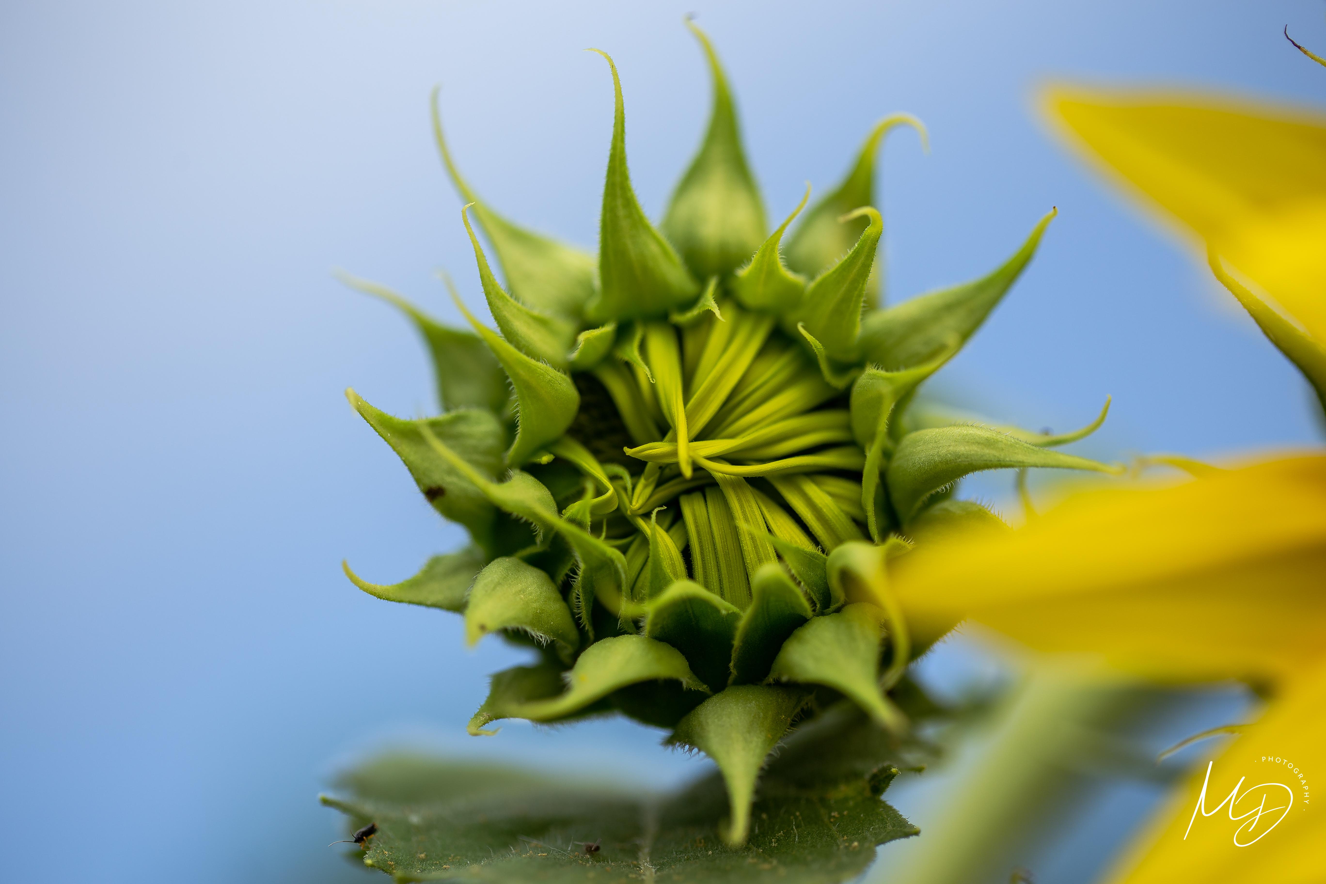 sunflower farm -50